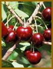 Black Gold and Lapins Sweet Cherry