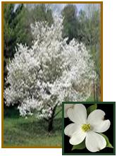 Dogwood-White-Flowering