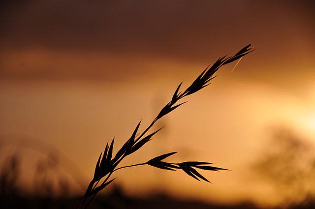 close wheat